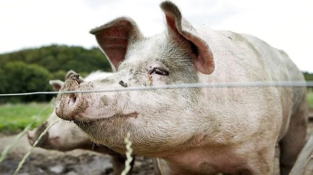 Milliardsalg af svines�d og avlsdyr skal fordobles