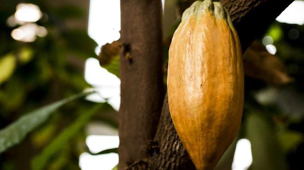 Kakaopriserne er steget 40 procent p� fire �r