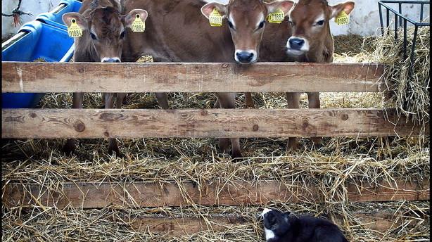 �kologien sl�r rekord og redder m�lkeb�nders �konomi