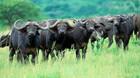 En kontant  bombe under Afrikas truede dyr