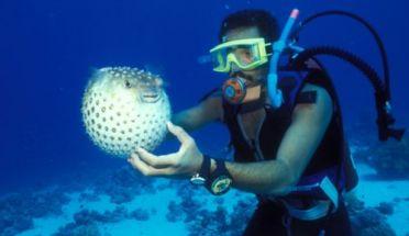 fugu fisk