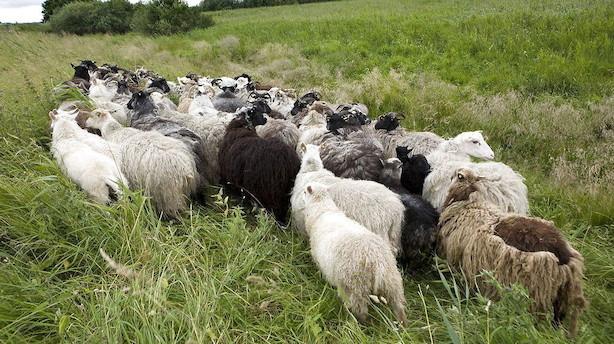 Britiske fårehyrder frygter masseslagtning ved brexit