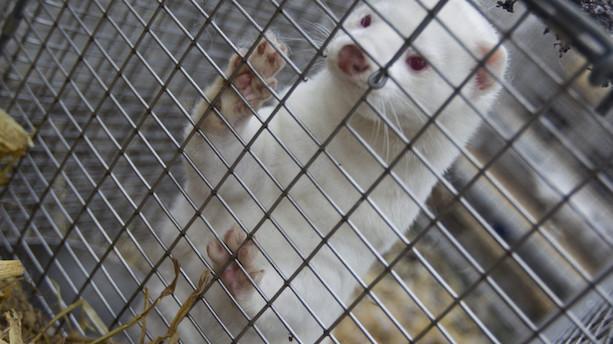 Norge forbyder mink- og rævefarme som første nordiske land