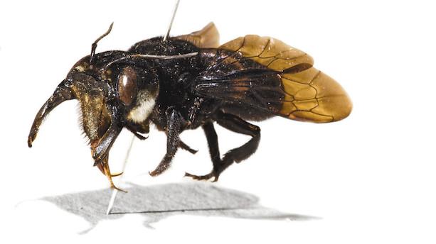 Verdens største bi er fundet for første gang siden 1981
