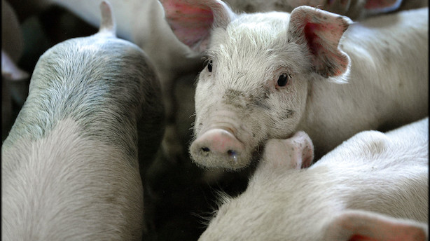 Svinepest hærger i Vietnam: 2,8 millioner grise aflivet