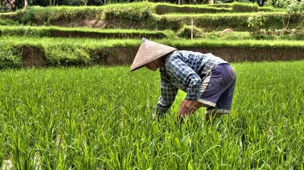 Vietnams eksport slår ris-rekord