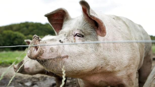 Danske svineproducenter oplever de højeste priser i mere end 20 år