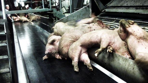 Stor konflikt koster dansk slagterigigant tusindvis af svin