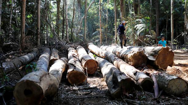 Regnskov i Amazonas ryddes med højeste fart i 11 år