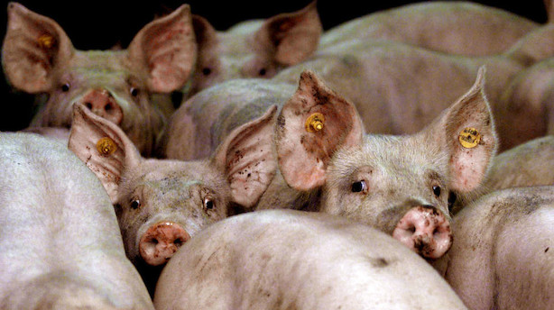 Den danske stat investerer 30 mio kr i kinesisk mega-grisefarm