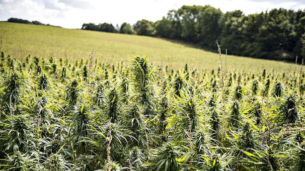 Det skriver medierne: Dansk landbrug kan score på cannabis