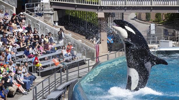USA: Seaworld kan blive højdespringer i roligt marked