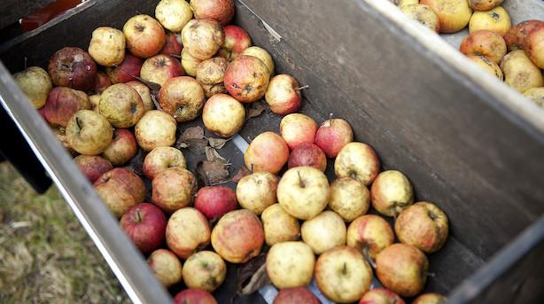 Sen forårsfrost koster frugtavlerne kassen