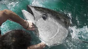 Sensation: Tun på 400 kilo fanget på stang ud for Skagen