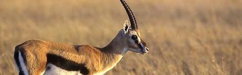 Kun 1051 gazeller overlevede krisen