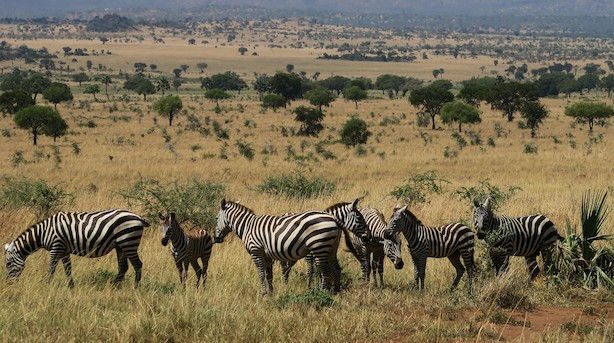 Ugandas ti safariparker