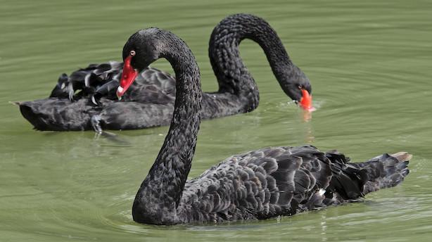 Kronik: I Danmark skyder vi sorte svaner
