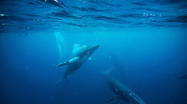 Bliv tilskuer til pukkelhvalernes parringskamp