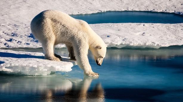 Kronik: Godt nyt om isbjørnene i Arktis