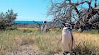 Argentinsk ødemark er pingvinernes paradis