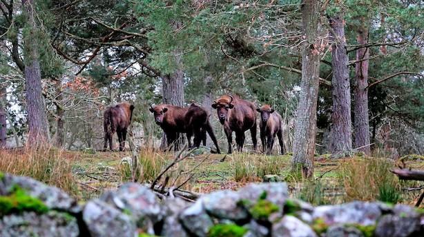 Svensk safari blandt udryddelsestruede dyr