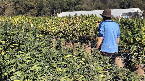 Cannabisaktier boomer på Wall Street