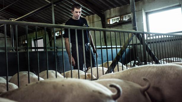 Landmænd vil sende strejkeramte svin på hotel: I tredje konfliktuge vil det ende med aflivninger