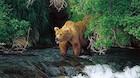 Frygt ikke bjørnene i Alaska - de er propmætte
