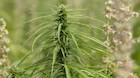Hippie-hip Cannabis i hudpleje boomer