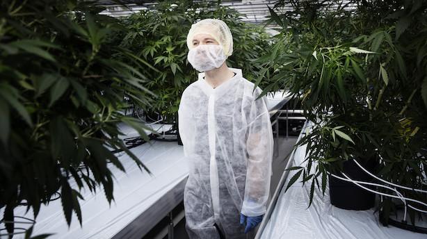Novo Nordisk ser grønt guld og vildt potentiale i cannabis