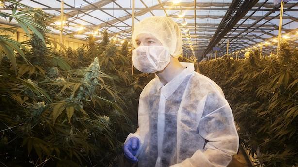 Sket i ugen: Direktørexit, krisetegn, cannabis og baropkøb